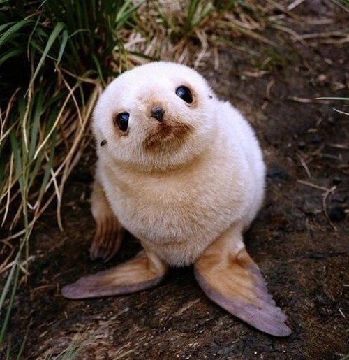 baby Fluffy seal flippers curious squee - 6699237888