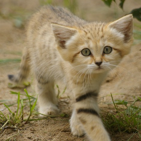 squee spree squee sand cat big ears - 6699409664