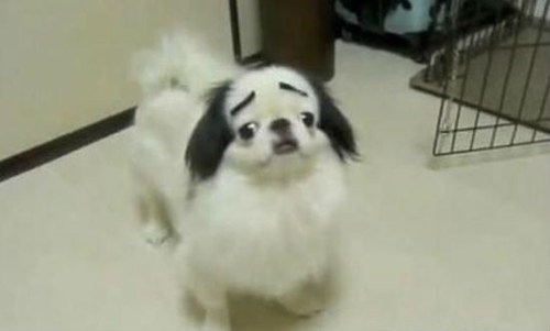 eyebrows dogs - 6699410944