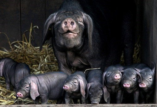 Babies smiling hog pig mommy happy squee - 6701775104