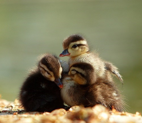 cuddle puddle birds ducklings squee - 6701792256