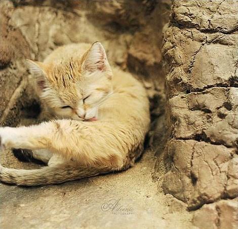 squee spree squee sand cat desert grooming - 6701806080