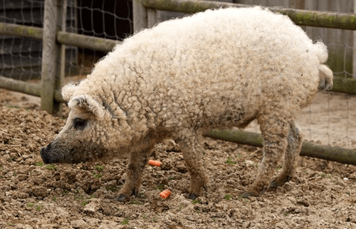 sheep pig animal - 6701863424