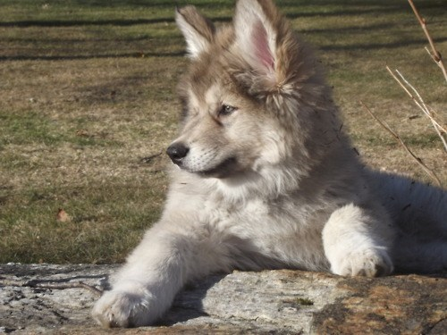 dogs Native American Indian Dog goggie ob teh week puppy Fluffy