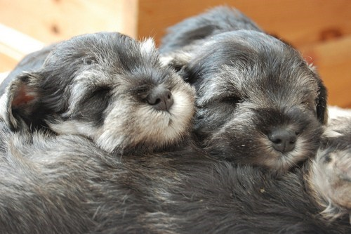dogs,puppy,schnauzers,cyoot puppy ob teh day,napping,beards