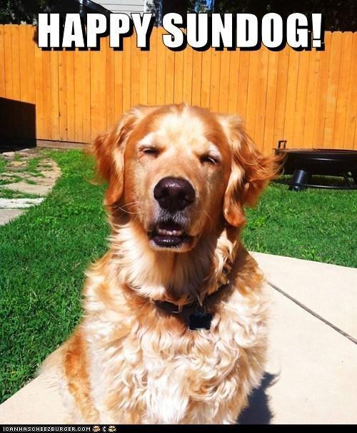 happy sundog golden retriever Sundog happy - 6702358784