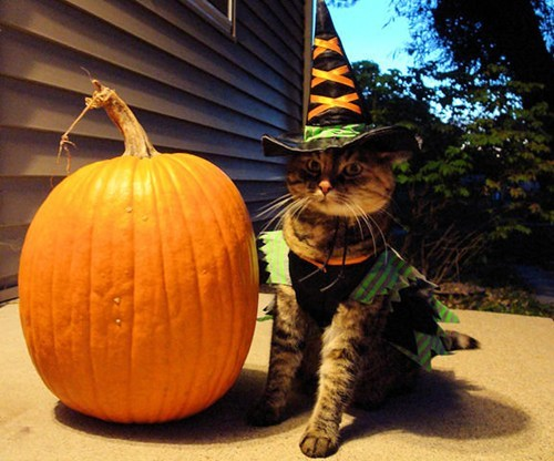 Cats kitten cyoot kitteh of teh day halloween Witches costume pumpkins costumed critters g rated - 6702749440