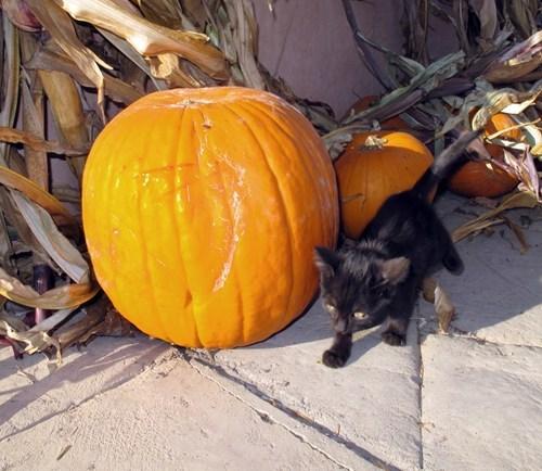 Cats kitten cyoot kitteh of teh day halloween pumpkins walking black cats tiny - 6702752768