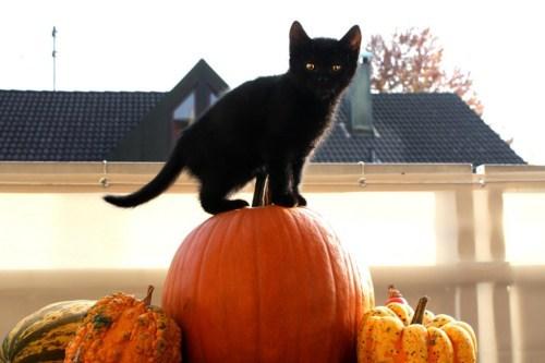 Cats kitten cyoot kitteh of teh day halloween pumpkins black cats - 6702754816
