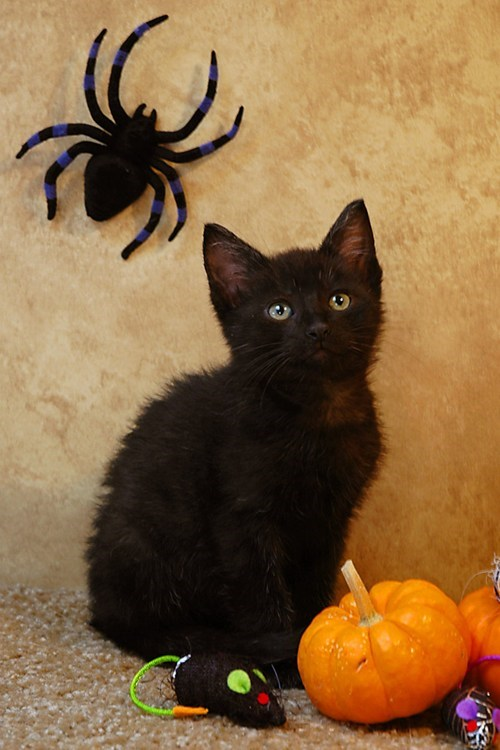 Cats,kitten,cyoot kitteh of teh day,halloween,spiders,black cats,pumpkins,dont-turn-around