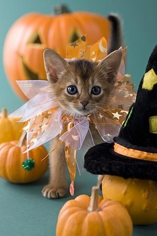 Cats kitten cyoot kitteh of teh day halloween pumpkins ribbons cute - 6702770432