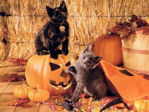 Cats kitten cyoot kitteh of teh day halloween pumpkins hay candy jack o lanterns holidays - 6702774272