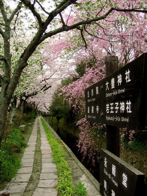 trees blossom Japan path bloom Hall of Fame best of week - 6703286272