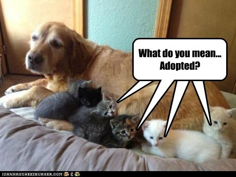 dogs kitten adopted golden retriever Cats - 6704660480