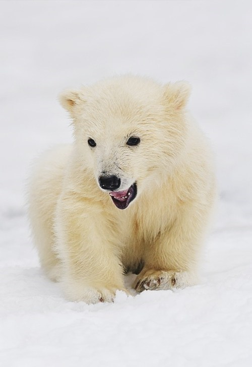 Babies snow polar bears cubs squee spree squee - 6705265152