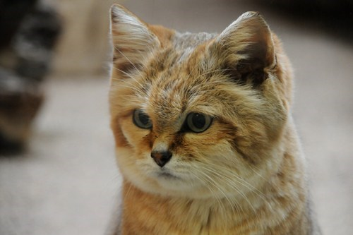 squee spree,squee,sand cat,Fluffy,whiskers