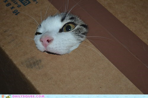cat,reader squee,stuck,cardboard box,pet,squee