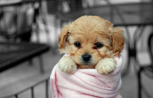 dogs puppy what breed cyoot puppy ob teh day blanket wrapped - 6705734912