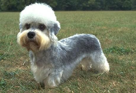 dogs Dandie Dinmont Terrier face off goggie ob teh week versus