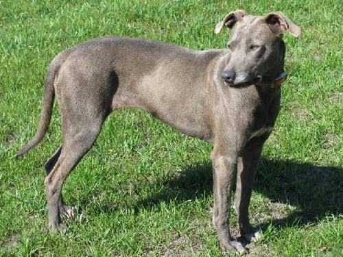 dogs blue lacy goggie ob teh week face off versus - 6705757696