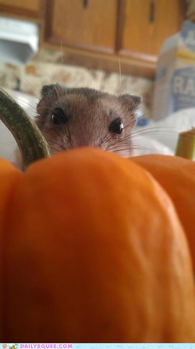 peeking pumpkins reader squee pet squee mouse - 6705911296