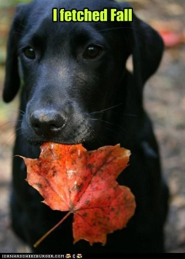 fetch autumn dogs labrador leaves fall - 6705984768