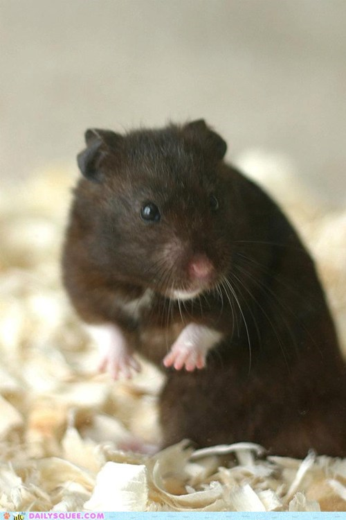 reader squee,A Team,hamster,pet,squee