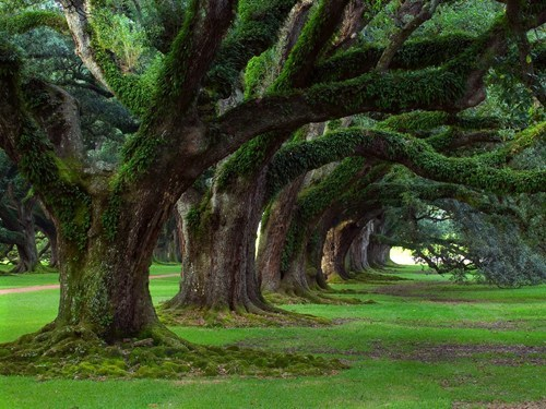 Forest oak trees moss Louisiana oak alley - 6709409280