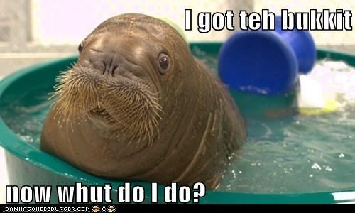 bukkit blue bucket what do i do walrus lolrus - 6712125184