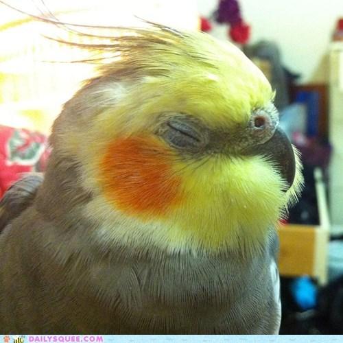 reader squee Fluffy cockatiel pet bird squee - 6712646144