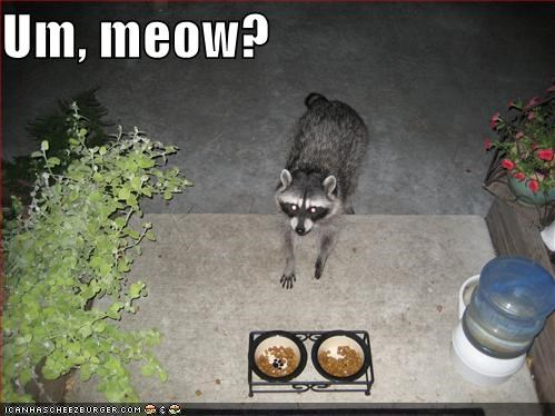 catfud,lolcats,lolraccoons,meow,raccoon