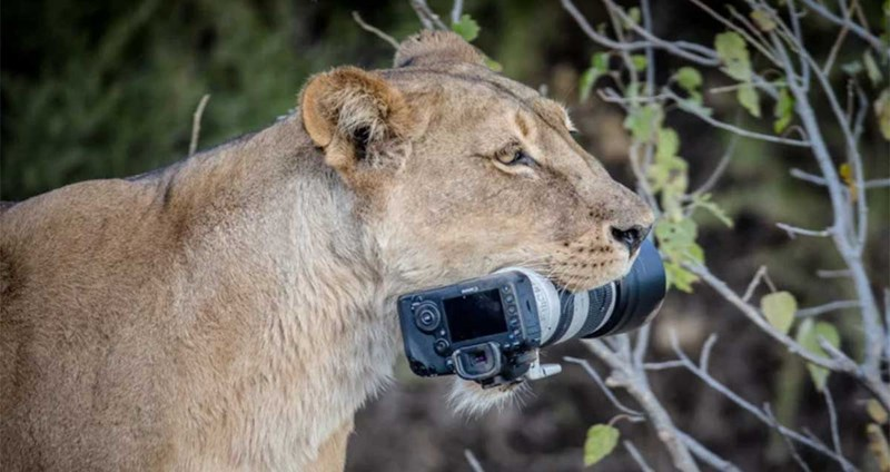 lion steals camera