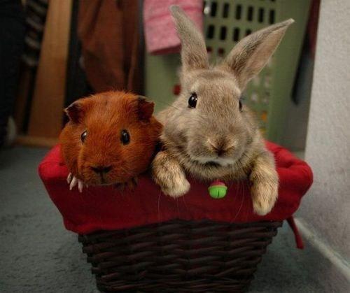 Interspecies Love guinea pig rabbit bunny squee
