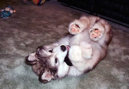 dogs,puppy,husky,huskie,cyoot puppy ob teh day,playing