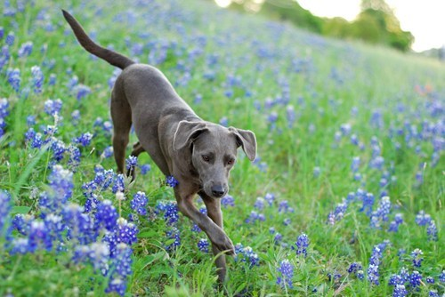 dogs goggie ob teh week blue lacy flowers - 6717922816