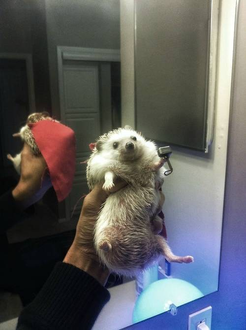 Thor The Hedgehog of the Day