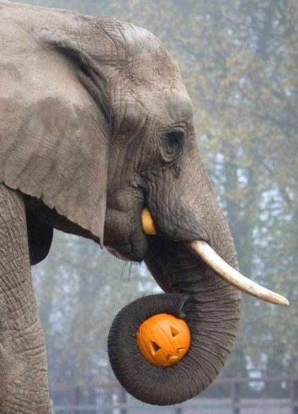 pumpkins halloween elephant carving jackolantern squee tusks - 6720570112