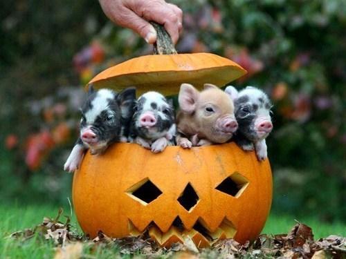 pumpkins halloween piglets pig jackolantern squee - 6720617216