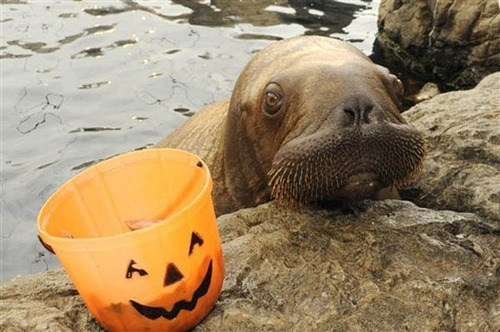 treats,halloween,trick or treat,bucket,walrus,squee