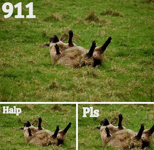 pls i've fallen halp sheep - 6720891904