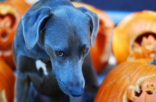 dogs halloween goggie ob teh week blue lacy pumpkin patch - 6720912128