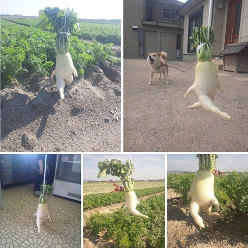 photography,radish,cute,running