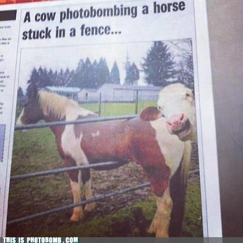photobomb cow animals - 6721941504