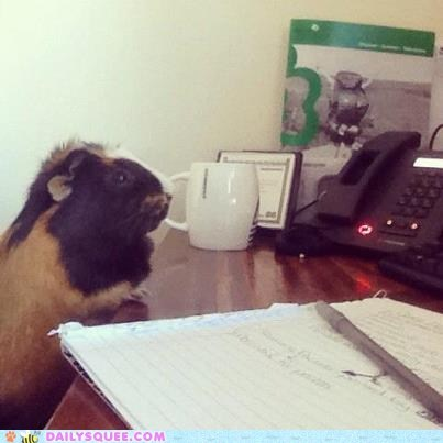 reader squee,desk,guinea pig,pet,squee