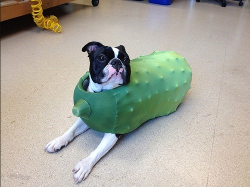 costume dogs halloween pickle boston terrier costumed critters g rated - 6723075840