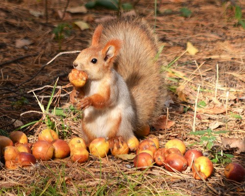 hoarders squirrel food noms apple squee bushy-tailed - 6723391744