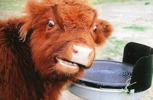 cow Fluffy squee derp - 6723395584