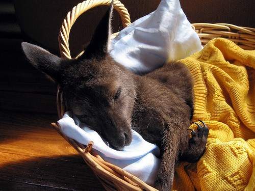 baby,kangaroo,squee,sleeping,basket