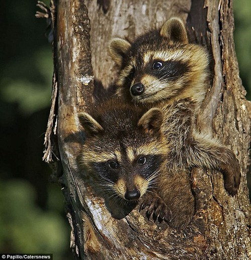 trunk,stuffed,tree,raccoons,squee