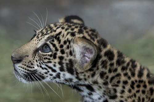 baby big eyes jaguar cubs squee spots - 6723428608